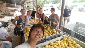 Cultural exchange volunteers sorting lemons